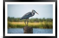Great Blue Heron, Framed Mounted Print