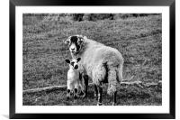 Swaledale ewe with lamb, Framed Mounted Print