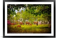 """""""Mares grazing with their foals"""", Framed Mounted Print"""