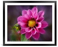 """Bright Pink Dahlia"", Framed Mounted Print"