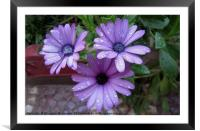 Water droplets on flower,, Framed Mounted Print