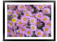 Colorado Tansy Aster, Framed Mounted Print