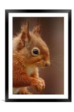 Red Squirrel IV, Framed Mounted Print