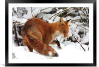 The winter fox, Framed Mounted Print