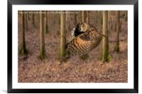 Eagle Owl On It's Daily Hunt, Framed Mounted Print
