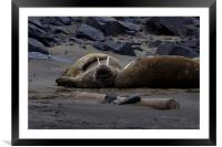 Walrus flat out on a beach, Framed Mounted Print
