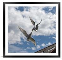 Arctic Terns, Framed Mounted Print