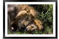 Affectionate Lions, Framed Mounted Print