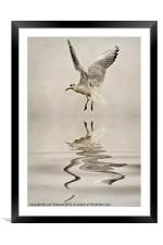 Black-headed gull, Framed Mounted Print