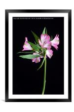 Alstroemeria 'Light Pink', Framed Mounted Print