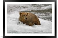 Grizzly, Framed Mounted Print