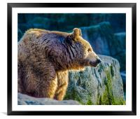 Grizzly bear, Framed Mounted Print
