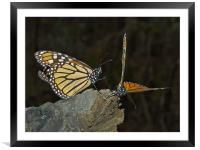 Mating dance, Framed Mounted Print