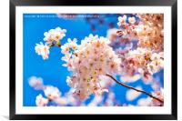 Cherry Blossom against a Bright Blue Sky, Framed Mounted Print
