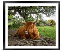 Highland cow at Setley,New Forest, Framed Mounted Print