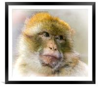 Portrait of a Barbary Macaque , Framed Mounted Print