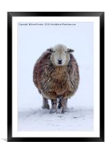 Happy Herdwick Ewe and Falling Snow, Framed Mounted Print
