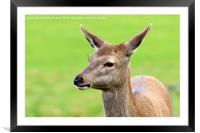 Hind Red Deer, Framed Mounted Print