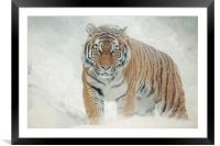 Tiger in the snow, Framed Mounted Print