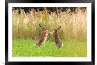 Mad wild hares boxing and fighting in Norfolk UK, Framed Mounted Print