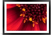 Red Dahlia flower in extreme macro, Framed Mounted Print