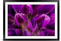 Beautiful Purple Lupin flower close up with waterd, Framed Mounted Print