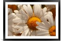 Oxeye wild daisys close up with morning dew drops, Framed Mounted Print