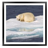 Sleeping Polar Bear Reflection, Framed Mounted Print