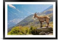 Ibex looking down on Chamonix, Framed Mounted Print