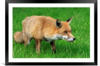 Red Fox , Framed Mounted Print