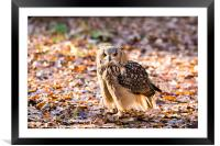 A Bengal Owl sitting among Autumn leaves., Framed Mounted Print