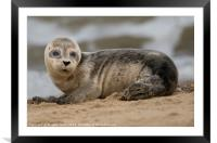 Young seal pup, Framed Mounted Print