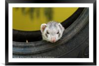 Ferret in a car tyre, Framed Mounted Print
