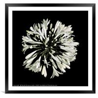 Top View White Stylized Radial Flower Isolated Pho, Framed Mounted Print
