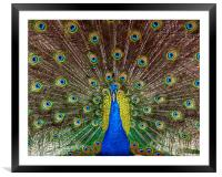 Indian Peacock, Pavo cristatus, displaying its col, Framed Mounted Print