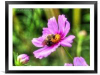 Bumble Bee on Pink Cosmos, Framed Mounted Print
