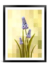 Grape hyacinths , Framed Mounted Print