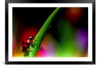 Ladybird and waterdrops, Framed Mounted Print