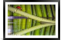 Ladybird, waterdrops and reflections, Framed Mounted Print