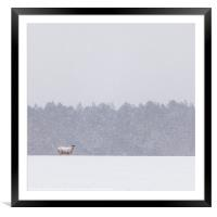 Winer sheep, Framed Mounted Print