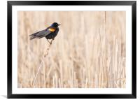 Red-winged blackbird in a Minnesota wetland, Framed Mounted Print