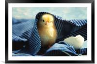Little chick  , Framed Mounted Print