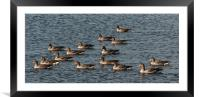 Greylag Geese Swimming, Framed Mounted Print