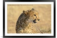 Portrait of a Cheetah, Framed Mounted Print