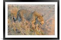 Close encounter with a leopard, Framed Mounted Print