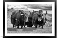 Shaggy haired yaks (mono), Framed Mounted Print