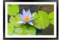 Single Purple water lily in pond., Framed Mounted Print