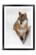 Wolf in the Snow in Winter, Framed Mounted Print