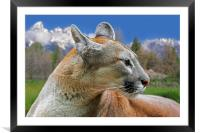 Mountain Lion, Framed Mounted Print