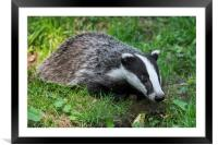 Young Badger, Framed Mounted Print